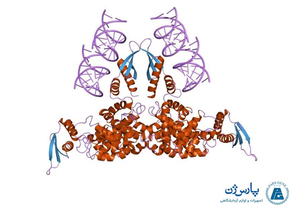 ساختمان ریبونوکلئاز ۳ در تعامل با دو رشته RNA